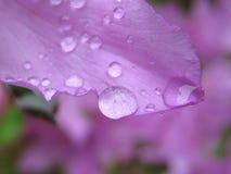 Violet drop. Rain drop on violet flower Stock Photo