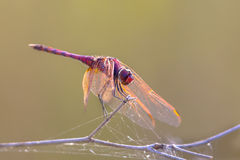 Violet dropwing dragonfly perched on a stick Royalty Free Stock Photo