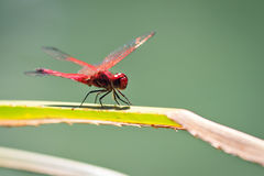 The Violet Dropwing. Trithemis annulata, in Isalo national park, Madagascar royalty free stock photo