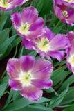 Violet dutchl tulips. Few violet wide-open tulips in a garden. Kuekenkhof, Holland, Europe Royalty Free Stock Images