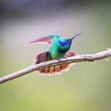 Violet Eared Hummingbird verde imagens de stock royalty free