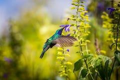 Violet Eared Hummingbird verde imagem de stock