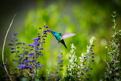 Violet Eared Hummingbird verde foto de stock royalty free