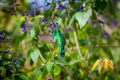 Violet Eared Hummingbird verde Fotos de Stock Royalty Free