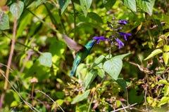 Violet Eared Hummingbird verde Fotos de Stock