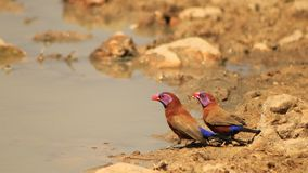 Violet-eared Waxbill - Beautiful Brothers Stock Image