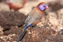 Violet-Eared Waxbill Bird Royalty Free Stock Image