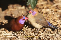 Violet-Eared Waxbill Finches Stock Images