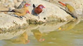 Violet Eared Waxbill - lös fågelbakgrund från Afrika - reflexion av färger fotografering för bildbyråer