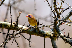 Violet eared waxbill in a tree Stock Images