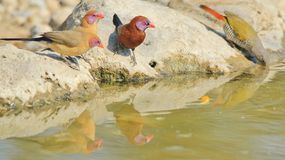 Violet Eared Waxbill - Wild Bird Background from Africa - Reflection of Colors Stock Image