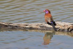 Violet-eared Waxbill - Wild Bird Background Beauty from Africa Royalty Free Stock Photography