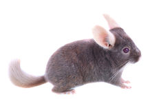 Violet ebonite chinchilla . Stock Photography