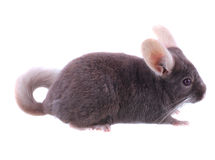 Violet ebonite chinchilla . Stock Images