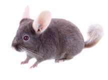 Violet ebonite chinchilla . Stock Image