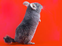 Violet ebonite chinchilla . Royalty Free Stock Photo