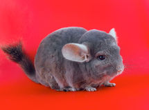 Violet ebonite chinchilla . Royalty Free Stock Images