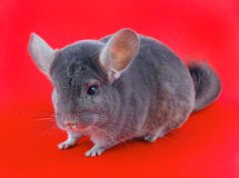 Violet ebonite chinchilla . Stock Photos