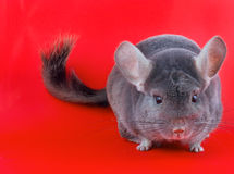 Violet ebonite chinchilla . Stock Photo