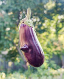 Violet Eggplant Solanum melongena or aubergine Royalty Free Stock Images
