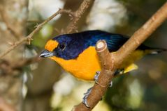 Violet Euphonia Bird stock images