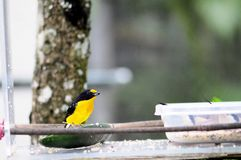 Violet euphonia bird Stock Photo