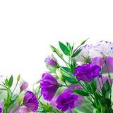 Violet Eustoma flowers Royalty Free Stock Image