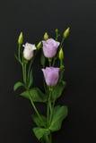 Violet Eustoma Flowers su fondo di pietra nero Immagini Stock Libere da Diritti