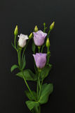 Violet Eustoma Flowers sur le fond en pierre noir Images libres de droits