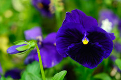 Violet. Example of violet during the spring bloom Stock Photos