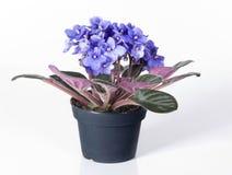 violet för blommakrukaviola royaltyfri fotografi