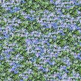 violet för composable modell för aubrieta seamless Arkivfoton