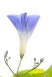 violet för morgon för härlighet för bakgrundsfärgblomma naturlig Royaltyfria Foton