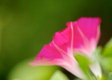 violet för morgon för härlighet för bakgrundsfärgblomma naturlig Arkivfoton