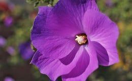 violet för morgon för härlighet för bakgrundsfärgblomma naturlig royaltyfria bilder