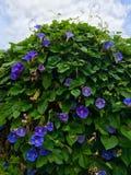 violet för morgon för härlighet för bakgrundsfärgblomma naturlig Royaltyfri Foto