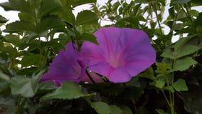 violet för morgon för härlighet för bakgrundsfärgblomma naturlig Arkivbilder