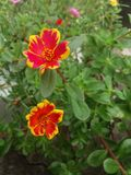 violet för morgon för härlighet för bakgrundsfärgblomma naturlig Arkivbild