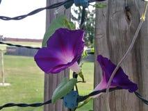 violet f?r morgon f?r h?rlighet f?r bakgrundsf?rgblomma naturlig royaltyfri foto