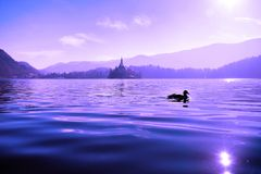 Violet Fairytale. Duck swimming in Lake Bled with the Church of the Assumption island in the background, like a fairytale Stock Image