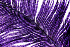 Violet feather plumage texture Royalty Free Stock Photo