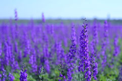 Violet field. Lavender field in Crimea, Ukraine Royalty Free Stock Photos