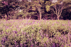 Violet field Royalty Free Stock Photo