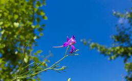 Violet Field Flower. Very beautiful violet field flower under the blue sky Royalty Free Stock Photos