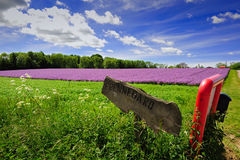 Violet field of flowers on Bornholm. Island, Denmark stock photography