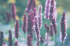 Violet field flowers, summer morning. Purple field flowers, long stems, small flowers, cool summer morning, cold subtle hues stock images