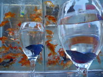 Violet fighter fish in a wine glass Royalty Free Stock Photos