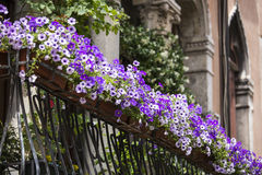 Violet floral pot on balcony Royalty Free Stock Images