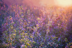 Violet Floral Summer Background Fotografia de Stock Royalty Free