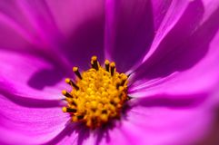 Violet Flourishing Flower Stock Photography